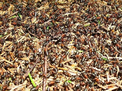 муравьи насадка для плотвы