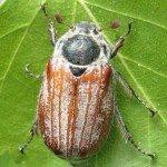 Голавль на майского жука