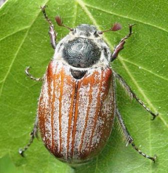 Голавльна майского жука