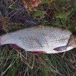 Летняя рыбалка на язя
