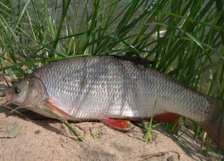 fishyazik