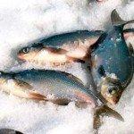 Как и где клюет белая рыба в феврале