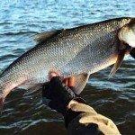 Рыбалка на Дону и как ловить голавля